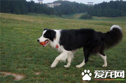 有短毛边境牧羊犬吗 短毛边牧中国基本很少见